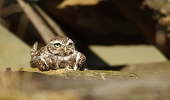 Little Owl (Mrs Scattercushion) Tags: little owl raptor barn farm stone roof yorkshie sunshine feathers birds