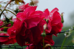 Rosas bajo la lluvia (ameliapardo) Tags: rosas flores plantasyflores lluvia gotasdeagua rojo macro sevilla andalucia españa fujixt1