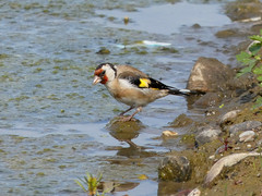 Goldfinch (Deanne Wildsmith) Tags: earthnaturelife staffordshire bartonmarina finch goldfinch