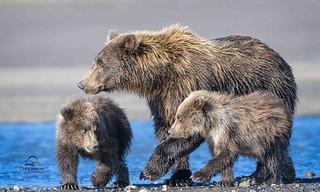 Her First Litter of Cubs