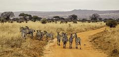 Zebra Row (jrteng) Tags: africa safari african zebra wild animals kenya canon eos 6d africansafari wildanimals
