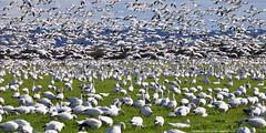 2011-02-16 Snow Geese (02) (2048x1024) (-jon) Tags: anacortes skagitcounty skagit washingtonstate washington pacificnorthwest pnw northwest salishsea pugetsound firisland conway chencaerulescens goose geese lessersnowgeese snowgeese snowgoose oiedesneiges bird waterfowl d90archives feeding flight flying a266122photographyproduction migration