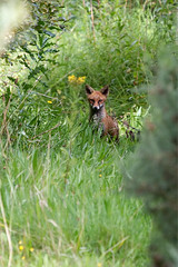 Foxy (16707) (jonathanclark) Tags: summer nature natural wild wildlife mammal fox grass urban industrial kinnegar belfast belfastharbourestate holywood stare alert inquisitive