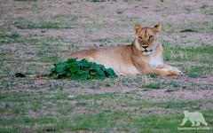 Resting Lioness (fascinationwildlife) Tags: animal mammal wild wildlife nature natur national park south africa summer südafrika kgalagadi kalahari transfrontier resting lion lioness female african lone desert safari predator big cat löwe ktp
