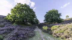 2017_6D2_IMG_0473_RGL (RMRJ_L) Tags: veluwe zoom posbank heide bloei landschap landscape heath flow