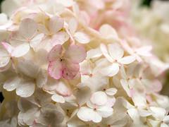Hydrangea at Sandringham (Unni Henning (also Instagram @unnikarin59)) Tags: white pink flowers blossom sandringham norfolk macro closeup outdoor park graden plant bush nature england bokeh narrowdepthoffield august hydrangea