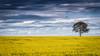 Spring is here! (RissaJT_23) Tags: canon6d canon canon70200mm canoneos6d canola goldencanola canolafield australia australianlandscape australiancountry crop crops farming farminglife tree clouds flowers yellow landscape