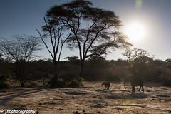 Mother and child - Matetse Reserve, Zimbabwe, Africa - Summer 2017-139.jpg (jbernstein899) Tags: africa shadows safari bush elephants motherandchild matetsepreserve silhouette zimbabwe