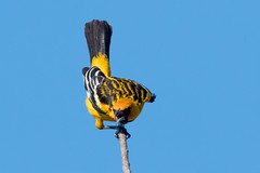 Streak-backed Oriole (davidgardiner8) Tags: birds costarica laensenada
