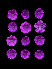 58492.01 Geranium sanguineum (horticultural art) Tags: horticulturalart geraniumsanguineum geranium cranesbill flowers grid