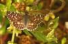Pyrgus orcus  (Stoll, 1780) femea (robertoguerra10) Tags: pyrgus orcus femea pyrginae hesperiidae
