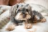 _MG_5738 (Andrea Ellen P.) Tags: dog pet dogphotoshoot petphotoshoot petcandid yorkiemix yorkiepoo yoodle