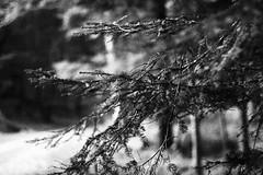 IMG_1092 (bia93snow) Tags: blackwhite branches rami tree albero bosco woods quiet