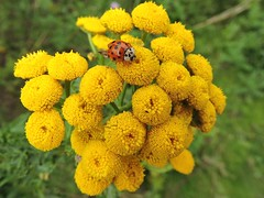 Ladybird on tansy (deannewildsmith) Tags: ladybird earthnaturelife wolseleynaturecentre insect staffordshire tansy