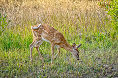 Bambi's visit (Pejasar) Tags: deer bambi visit yard pray montana northofyellowstone cute tail swish