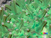 Acoel worms (Acoela) on Sunflower mushroom coral (Heliofungia actiniformis) (wildsingapore) Tags: pulau semakau heliofungia actiniformis cnidaria fungiidae island singapore marine intertidal shore seashore marinelife nature wildlife underwater wildsingapore scleractinia acoela worm
