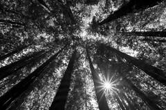 Humboldt Redwoods State Park (Dtek1701) Tags: northerncalifornia nature outside fuji fujinon fujinonxf1024f4ois ultrawide wide mirrorless fujix fujifilm xshooter xseries xmount apsc xflens parks trees westcoast redwoods roadtrip naturallighting outdooor beauty monochrome blackandwhite