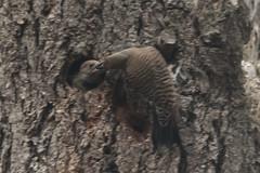 Northern Flickers (maritimeorca) Tags: animal bird chamberscreekproperties colaptesauratus flicker nest northernflicker redshaftednorthernflicker woodpecker