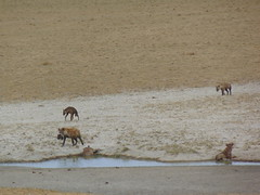 DSC00390 (francy_lioness) Tags: safari jeep animals animali ippopotami leone savana gnu elefante iena pumba tanzaniasafari ngorongorocratere gazzella antilope leonessa lioness facocero