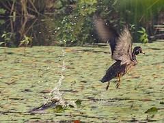Wood duck taking off. (piranhabros) Tags: oregon eugene deltaponds flight takeoff woodduck duck bird animal