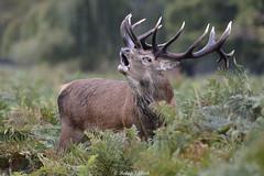 Feeling The Urge (Ralph J Clark) Tags: reddeer stag autumn bushypark rut nikon200500mmf56 roar