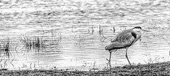 Grey Heron (pixel--shift) Tags: grey heron water bird fairburn ings sony 70400mm g2 ssm birding a7r