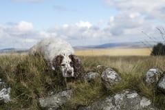 Logan (JulieMorrish) Tags: dartmoor springerspaniel dogportrait dogphotographer devon moors landscape dogs moorland autumn dog hiking outdoors gundog walk