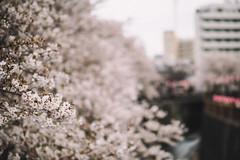 "Nakameguro, Tokyo, 2017 (librarymook) Tags: ""olympus pen f"" ""leica dg nocticron 425mm f12 asph"" rni rnifilms leica panasonic microfourthirds m43 olympus justgoshoot japanese hanami sakura ""cherry blossom"" viewing full bloom canal bridge walkway daily life osanpocamera 東京カメラ部 nakameguro tokyo japan"