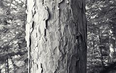 BARK (Rob Patzke) Tags: bark forest bw bokeh knot lumix lx100 macro nature