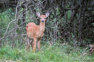 Cerf de Virginie / Whitetail Deer / 10 septembre 2017 P9101787.jpg