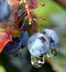 DSC_3961-001 (gruntfuttockslament) Tags: wet plant garden waterdroplet raindrops