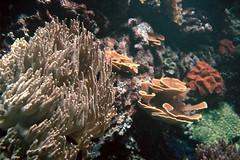 Coral (W-Bell) Tags: canon f1 canonf1 film 35mm kodak portra 400 wildlife fish aquarium