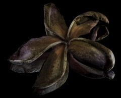 Faded And Dessicated Plumeria Blossom (Bill Gracey 21 Million Views) Tags: faded old desiccated plumeria blossom fleur flower flor nature naturalbeauty weathered blackbackground reflection offcameraflash homestudio macrolens yongnuo yongnuorf603n mirror filllight sidelighting griddedsoftbox shapes textures