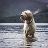 Hendrix (Forty-9) Tags: derwentwater lakedistrict eos60d spinone lightroom eflens 25092017 canon italianspinone lightroommobile pet monday forty9 25thseptember2017 lake 2017 ef70300mmf456isusm september dog tomoskay