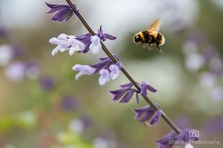RHS Wisley - Bee On Pollen Duty