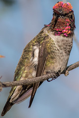 Male Anna's Hummingbird (gilamonster8) Tags: killdeer dragonfly bug coyote grass plant eat pollen quality arizona az american wing water waterbirds waterbird white sky explore eyes eos desert color cactus canon flight flickrelite fishing fly vermillion flycatcher tucson tail green gray great garden bird blue bokeh beyondbokeh beak bill black brown yellow hummingbird ngc insect orange lake park flower