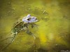 Full attention (Daniel Boca) Tags: wildlife wildlifephotography wild frog blue green water river mures nature naturephotography naturepics naturephotograph zoomphotography zoom outdoor outside outdoors closeup eye eyes