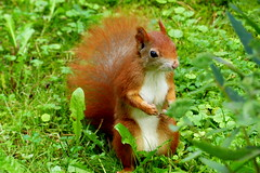 Hello! (ivlys) Tags: darmstadt waldfriedhof cemetery eichhörnchen squirrel tier animal natur nature makro macro ivlys
