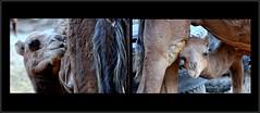 c'est l'heure du dîner dans un caravansérail abandonné ! (Save planet Earth !) Tags: iran travel amcc chameau nikon voyage