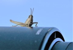 Hitchin' a ride! (pstone646) Tags: grasshopper insect camera nature fauna wildlife animal closeup stodmarsh kent