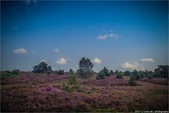 _die_heide_brennt (l--o-o--kin thru) Tags: holterberg heide heather