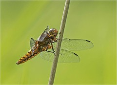 Broad Bodied Chaser (f) (Charles Connor) Tags: broadbodiedchaser dragonflies insect insectphotography macro macrophotography bokeh backgroundblur flyinginsects canon100400lens canon7dmk11