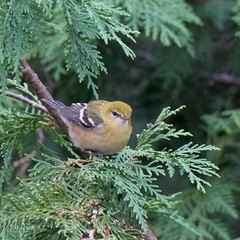 Bay Breasted Warbler in fall plumage (jklewis4) Tags: baybreasted nature bird birds fallmigration fallplumage firstyear juvenile warbler woodwarbler