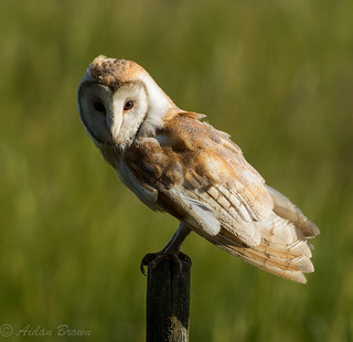 Barn owl on the Kingfisher pole.