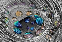 Peacock feather. (Gillian Floyd Photography) Tags: peacock feather water drops