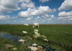 Dutch Countryside Idyll (marionrosengarten) Tags: cow netherlands holland countryside clouds cottonwoolclouds green grass flowers blue bluesky idyll nikon kuh wolken wattewolken water