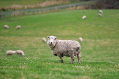 Kia Ora ! (Anna Kwa) Tags: sheep newzealand southisland kiaora hi māori annakwa nikon d750 afsnikkor70200mmf28gedvrii my hello always seeing heart soul throughmylens travel world