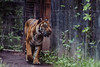 Toronto Zoo - June 25, 2017 (Katherine Ridgley) Tags: toronto torontozoo zoo tiger sumatrantiger pantheratigrissumatrae pantheratigris panthera felidae feliformia carnivore carnivora mammal mammalia animal animalia cat bigcat endangered