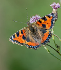 JWL4342  Tortoiseshell.. (jefflack Wildlife&Nature) Tags: smalltortoiseshell butterflies butterfly insects insect lepidoptera wildlife wetlands woodlands glades gardens wildflowers copse flowers countryside nature heathland hedgerows moorland meadows marshland