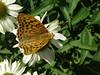 A pandora i Le crouzet 2017 07 18 (Froggy Birder) Tags: lecrouzetjuillet2017 papillon rhopalocères butterfly lecrouzet cévennes cardinal argynnispandora